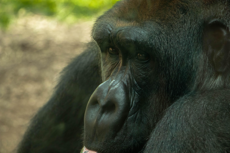 OKC Zoo Gorilla