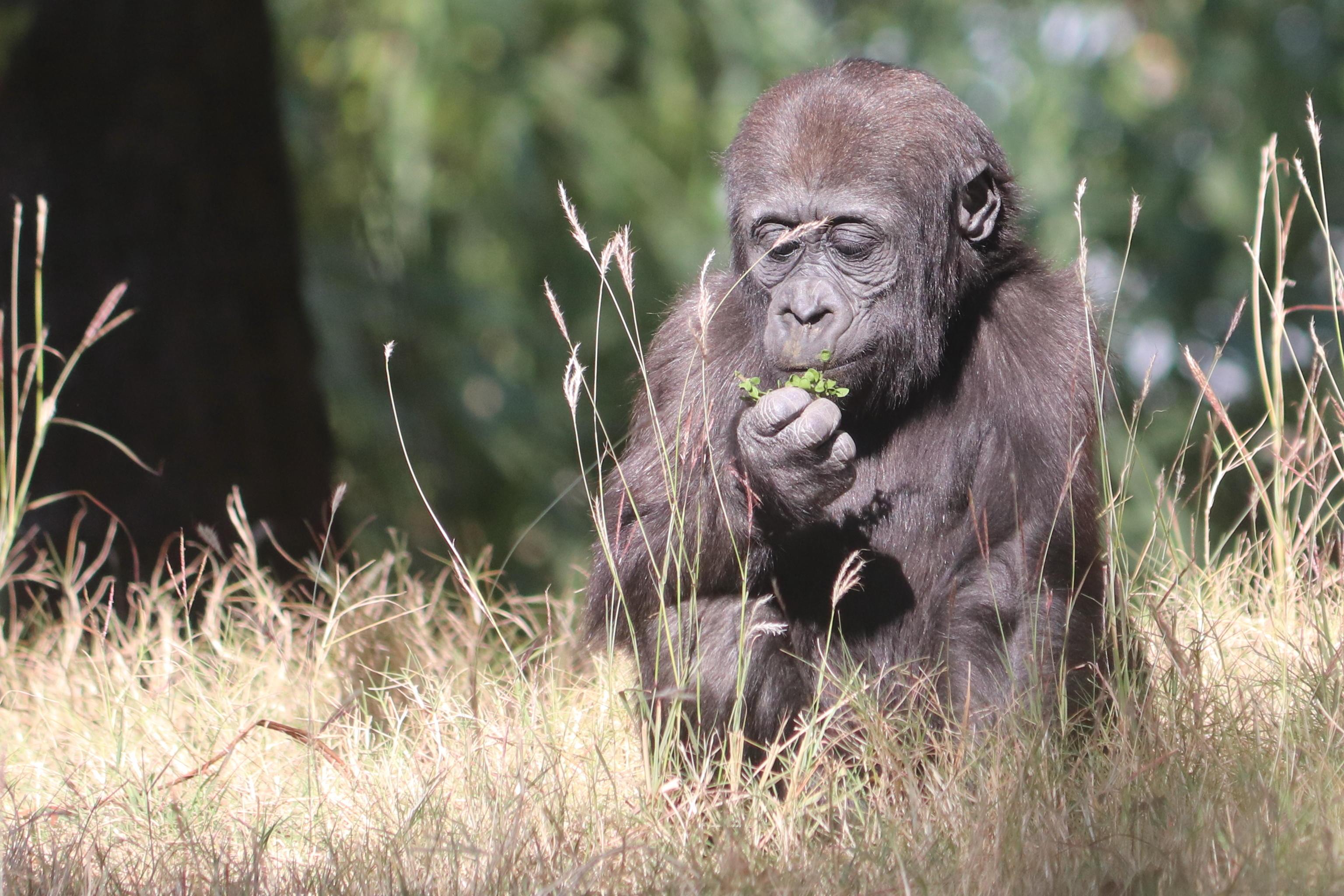 Gorilla at OKC Zoo Credit Thane Johnson