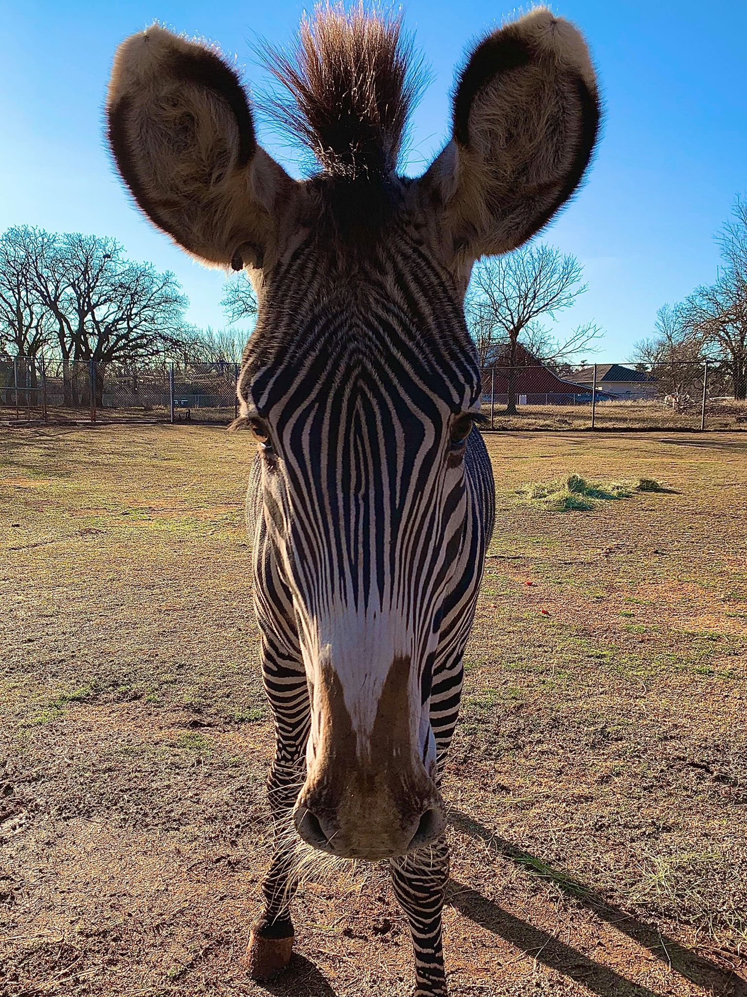 Zuberi the Grevy's Zebra