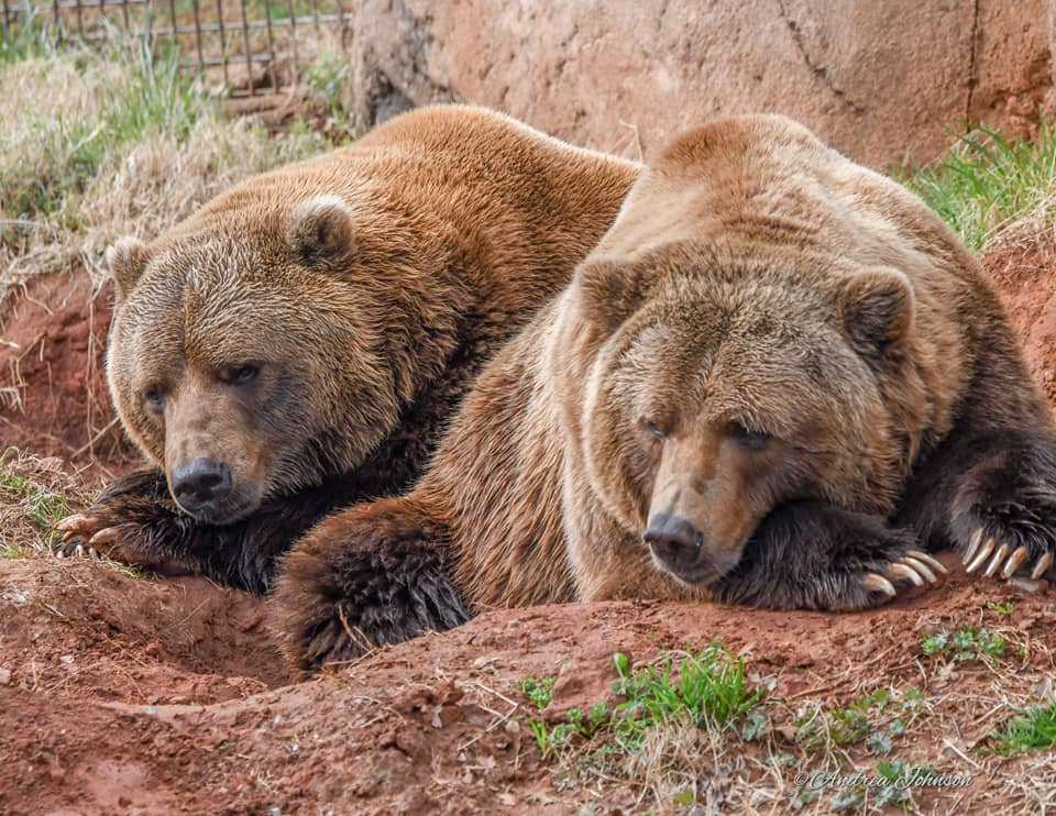 Grizzly brothers Will and Wiley, credit Andrea Johnson