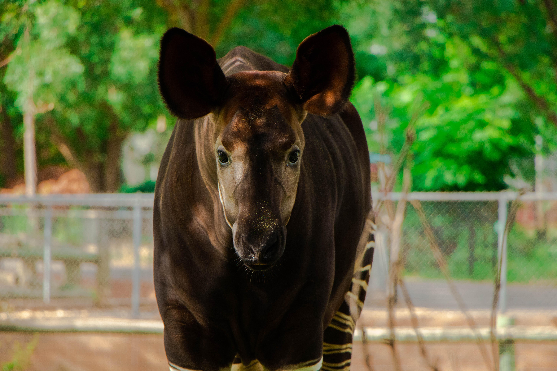 okapi caroli