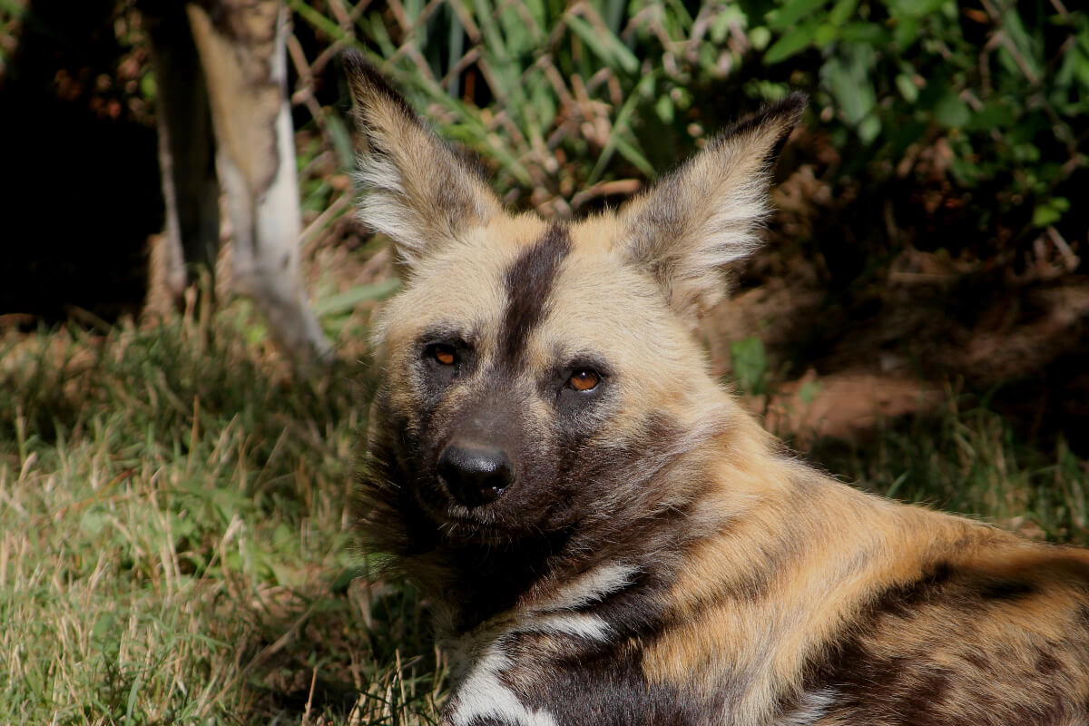 African Painted Dog - Photo Credit Thane Johnson