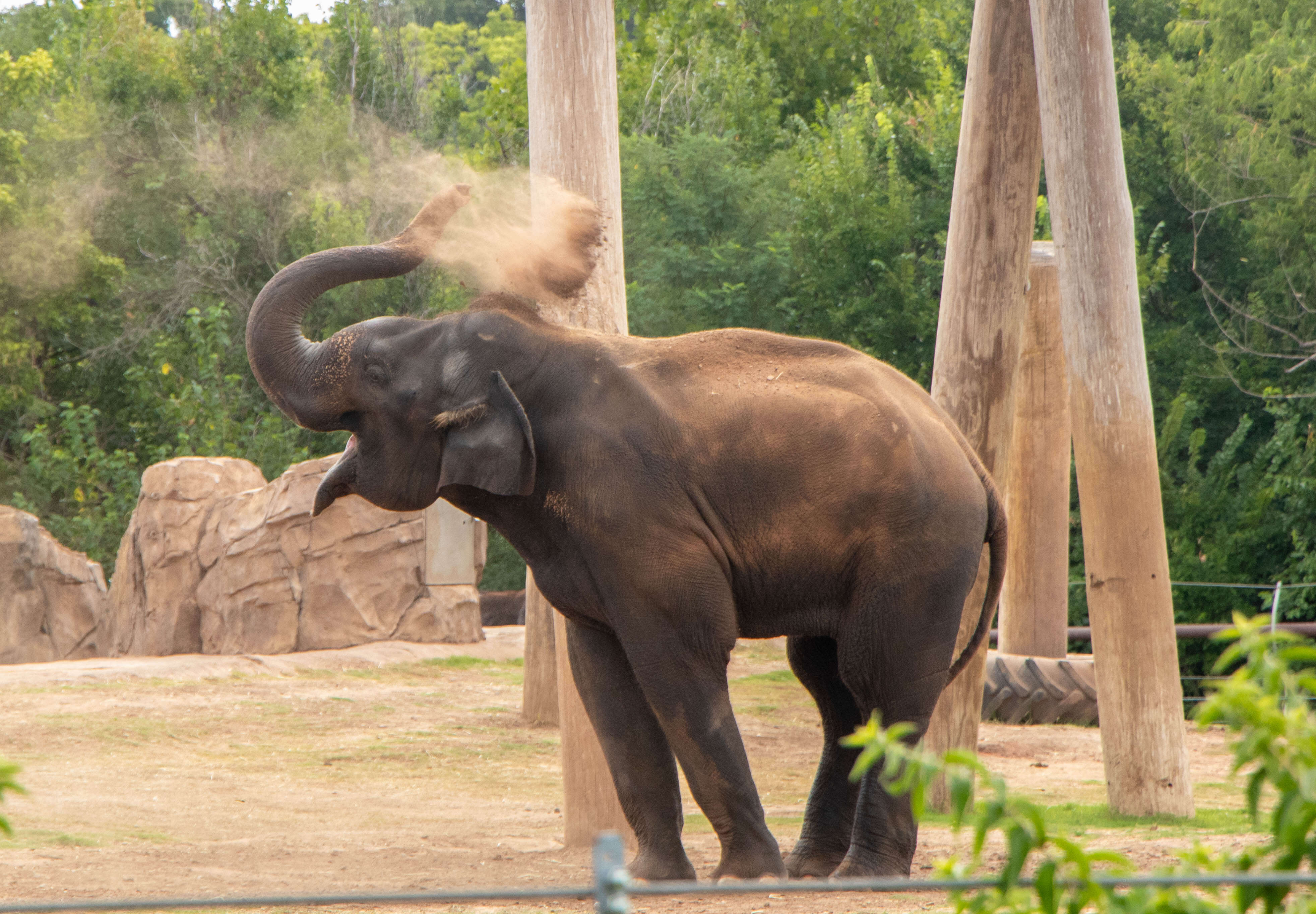 Asian Elephant Kandula
