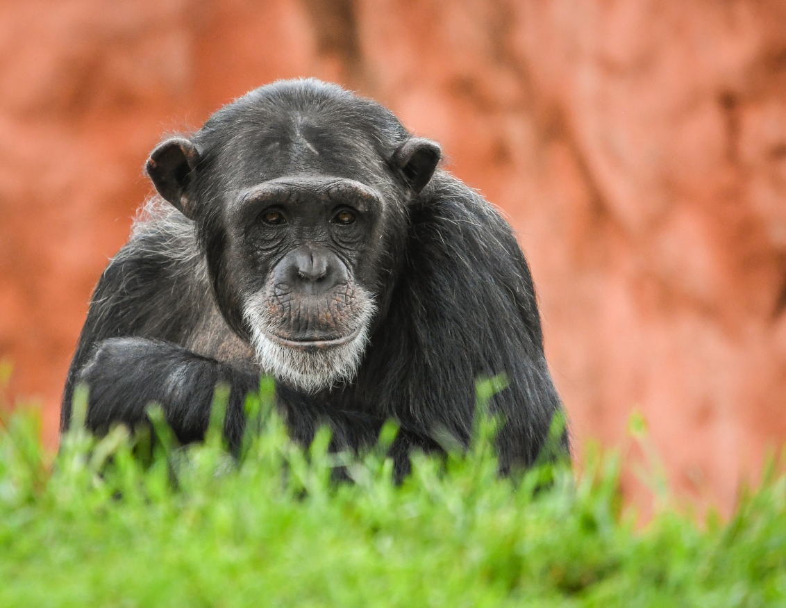 Chimp Kristy Credit Andrea Johnson