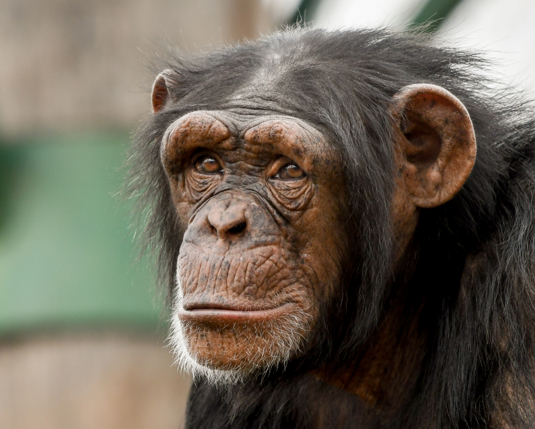 Chimp Siri Credit Andrea Johnson