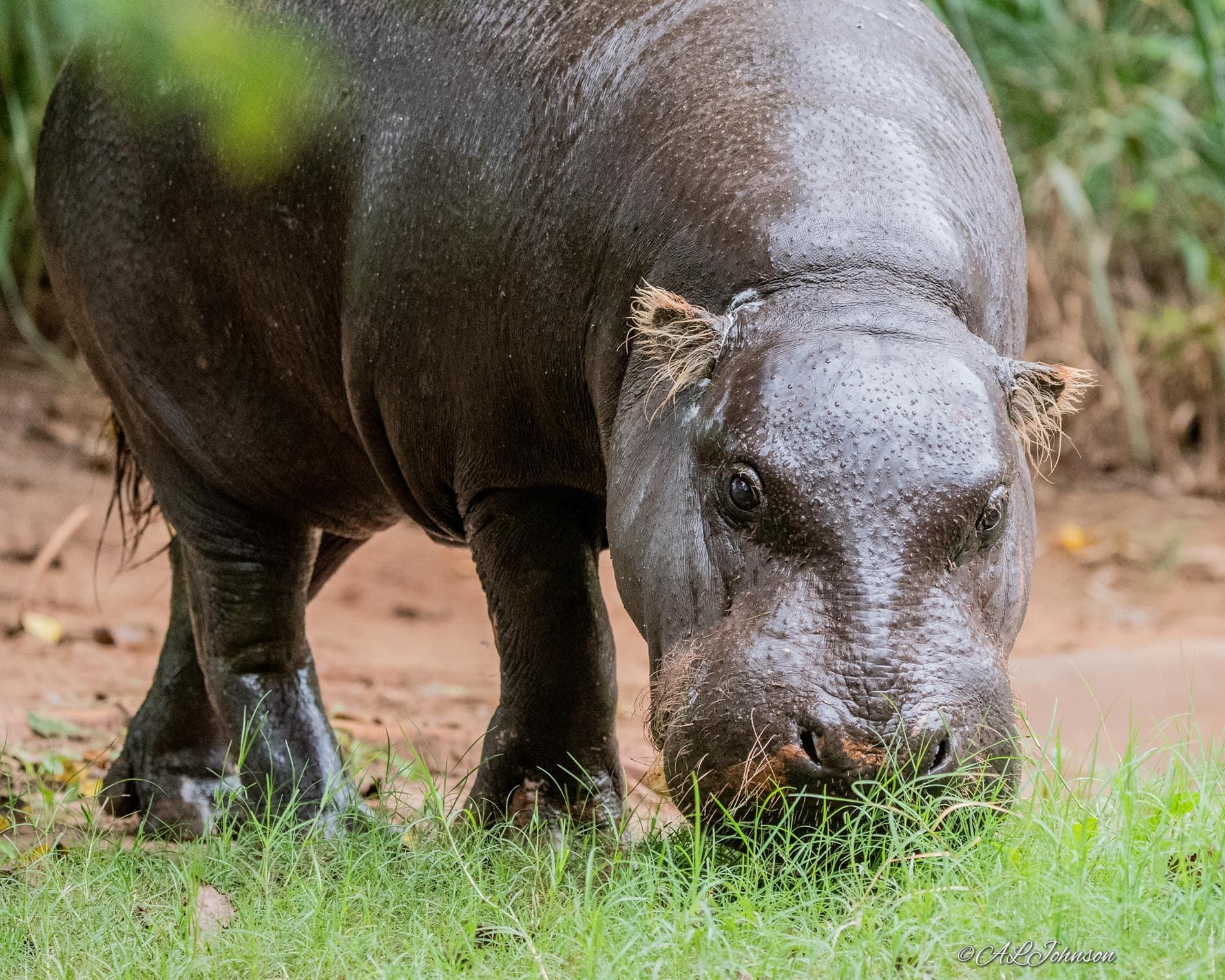 Pygmy Hippo Wolee credit Andrea Johnson
