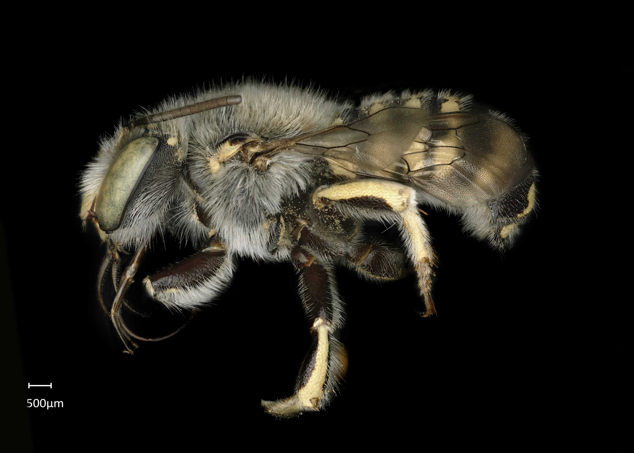 Wool carder bee Photo credi: Jeni Sidwell