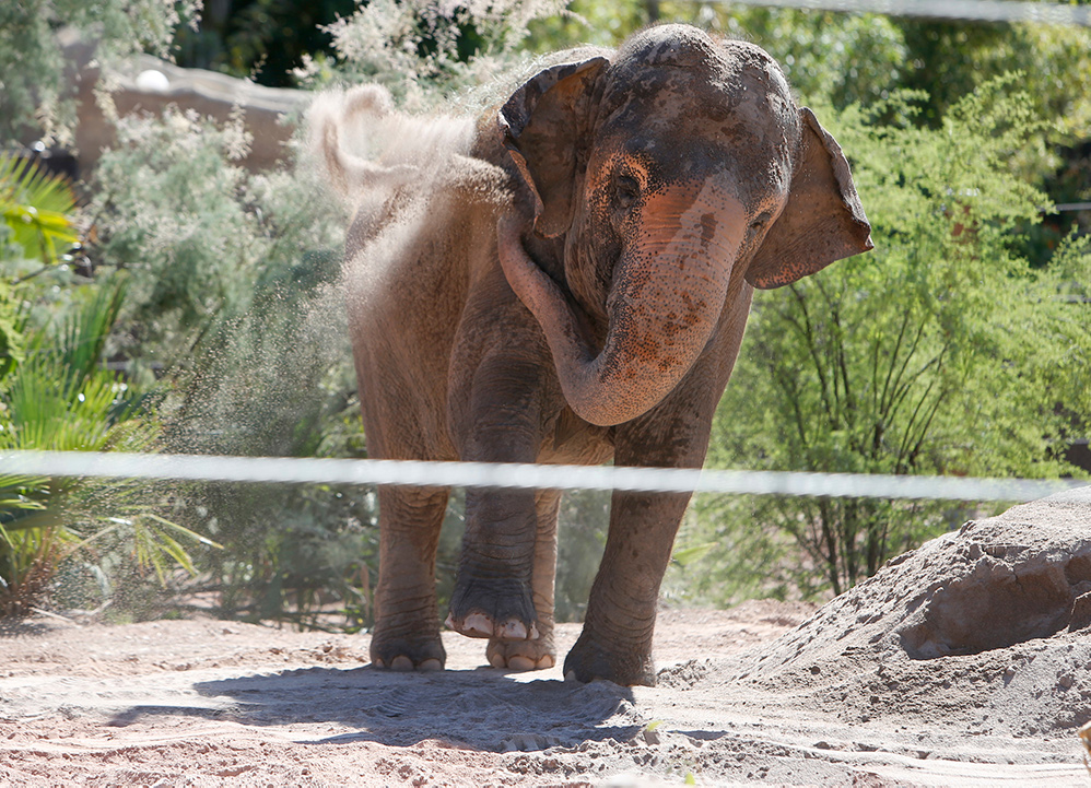 Elephant flinging sand
