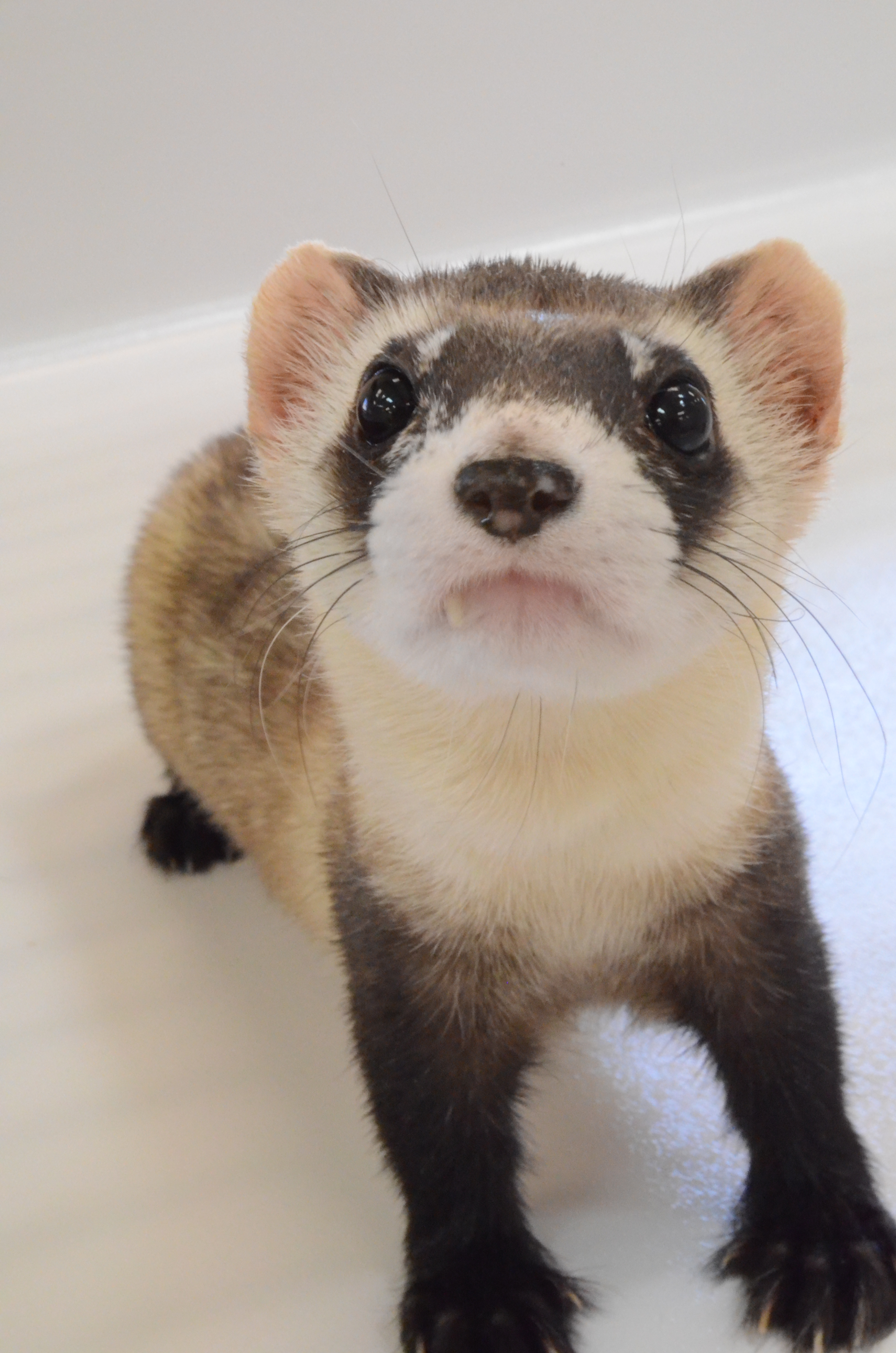 Image of Black footed ferret