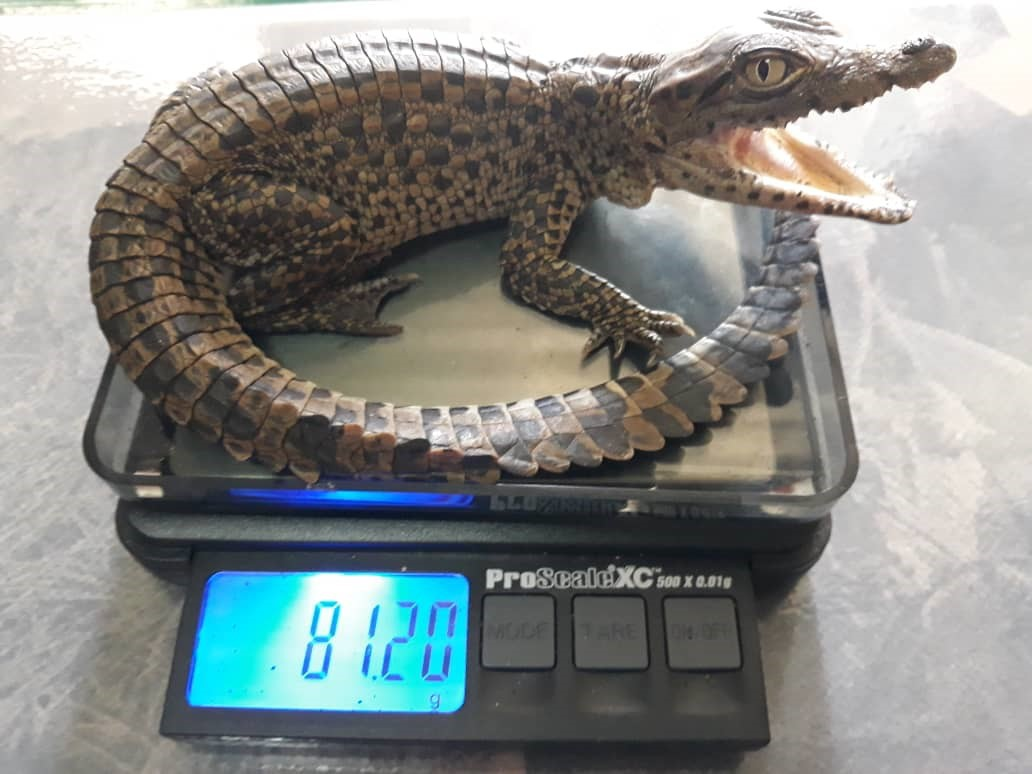 Weighing a baby Cuban crocodile