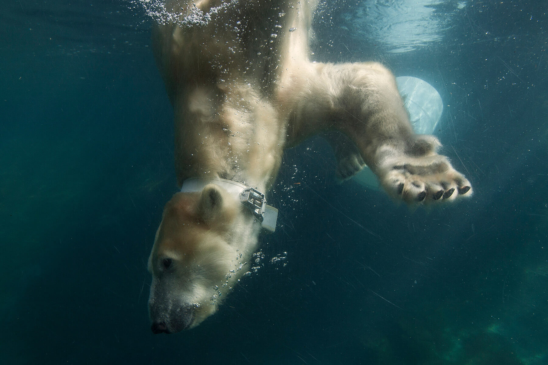 Polar bear swims with research collar at San Diego Zoo.