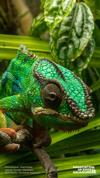 Chameleon photo contest