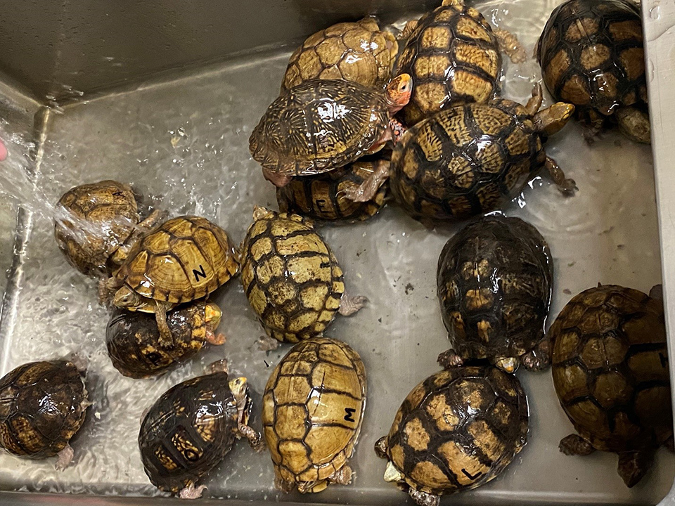 Mexican box turtles