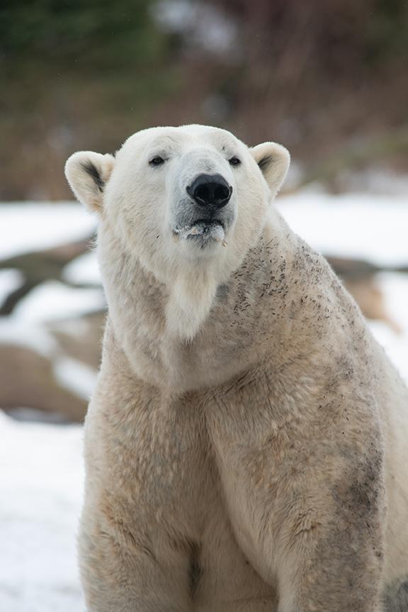 A Polar bear sitting on snow