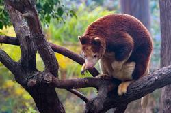 Tree Kangaroo of Papua New Guinea