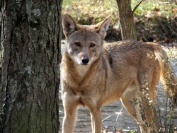 American Red Wolf