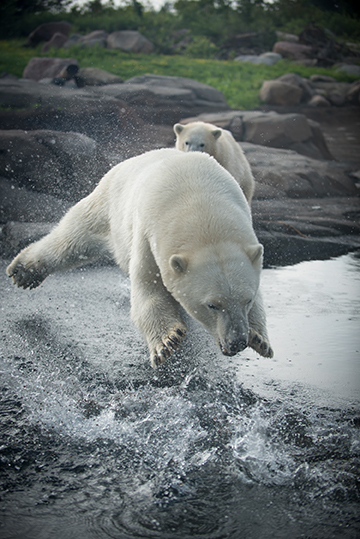 Picture of a polar bear leaping into water with another following behind.