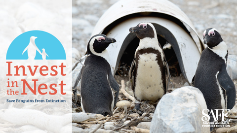 Image of Penguins with logo of Invest in the Nest: Saving Penguins from Extinction