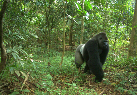 A cross river gorilla walks through the forest in Nigeria.