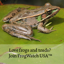 "Image of frog with text ""Love frogs and toads? Join FrogWatch USA"""