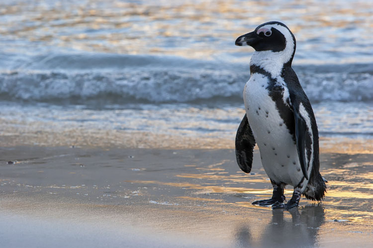 African penguin | Saving Animals From Extinction