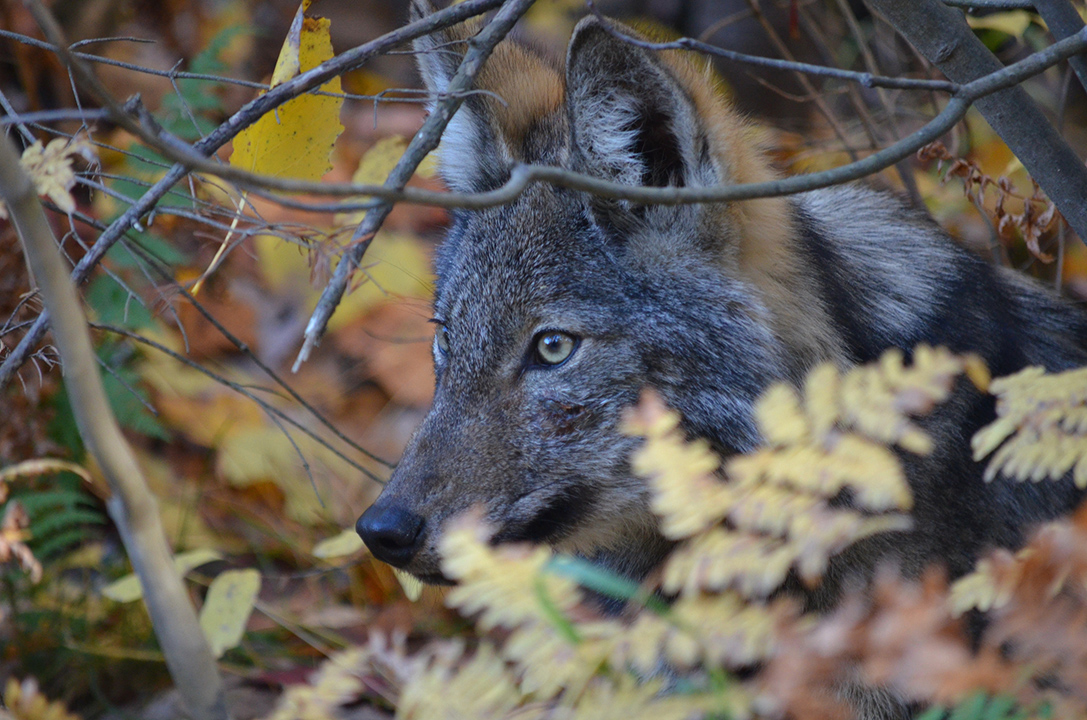 Algonquin wolf in the trees