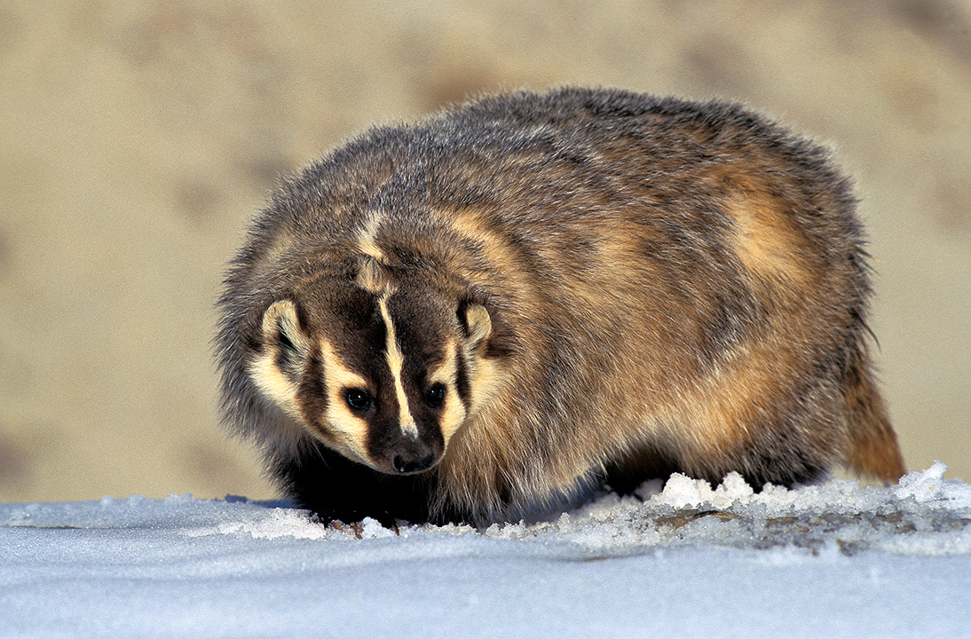 American badger in the snow