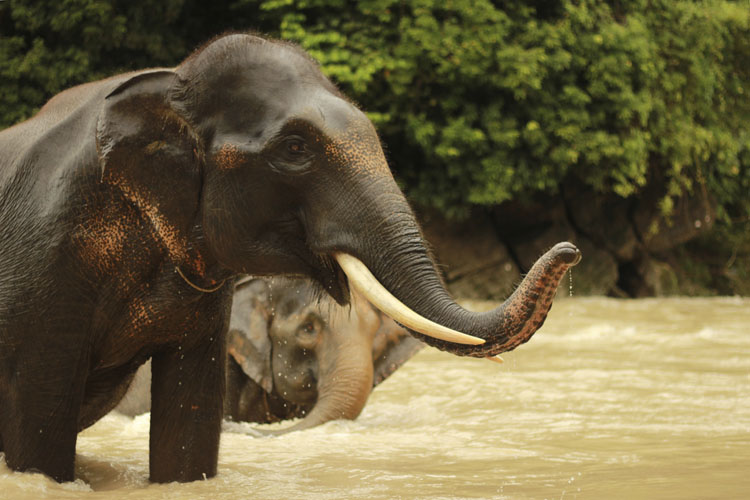 Asian Elephant | Saving Animals From Extinction