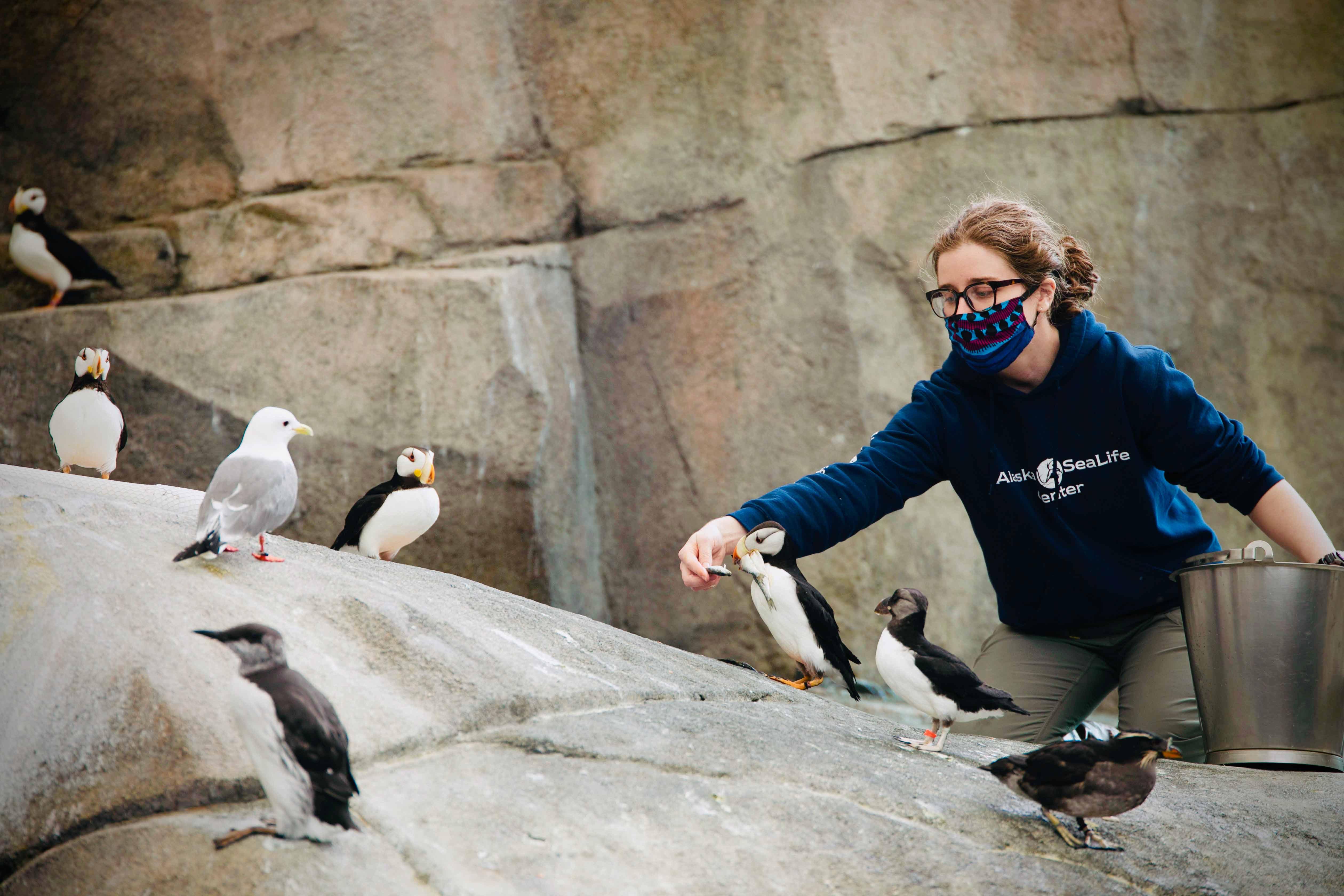 Aviculturist feeding puffins
