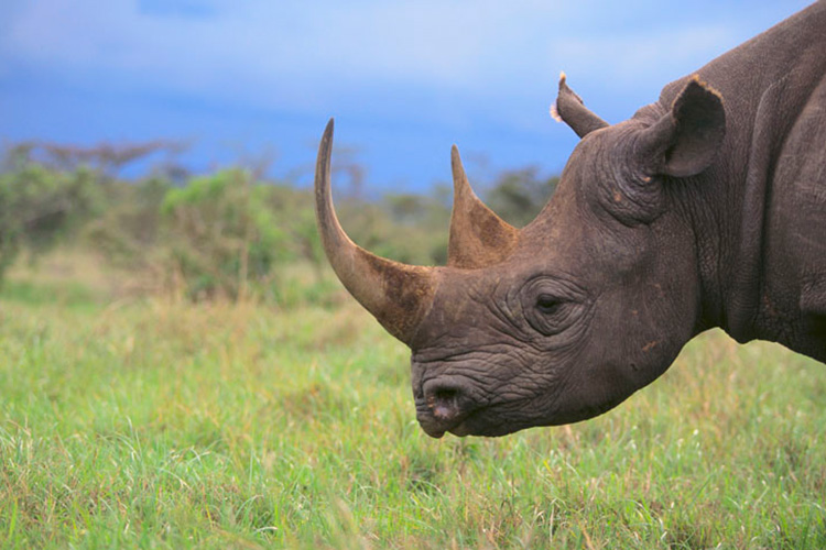 Black Rhinoceros | Saving Animals From Extinction
