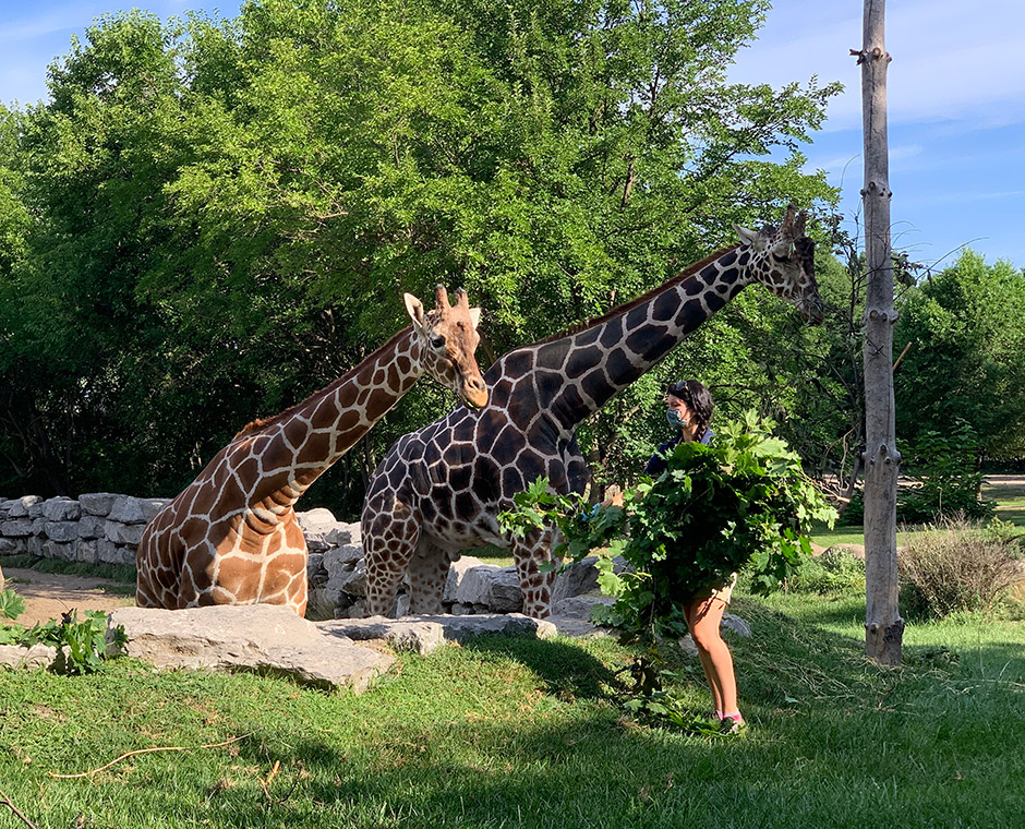 Two giraffes eating browse