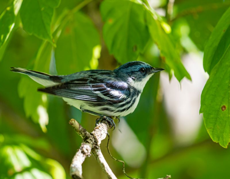 North American Songbirds