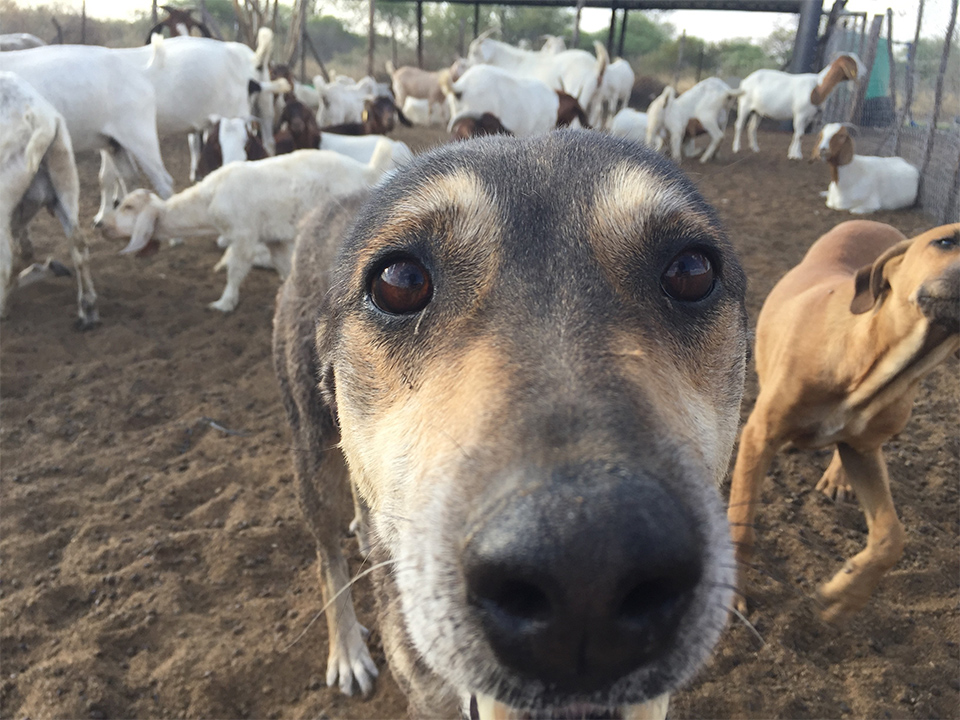 A dog looks into the camera with goats behind.