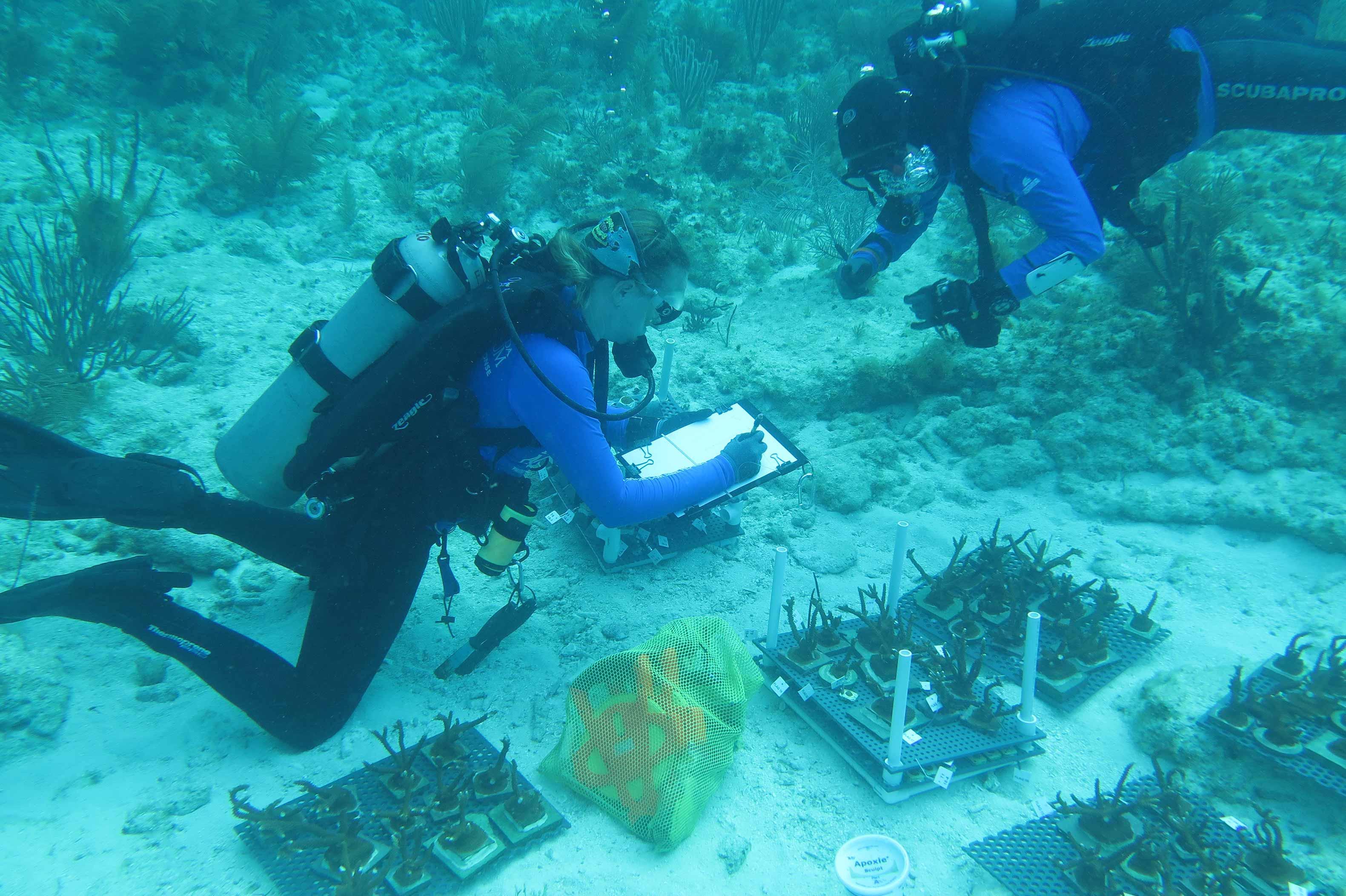 Coral outplant diving. Credit The Florida Aquarium
