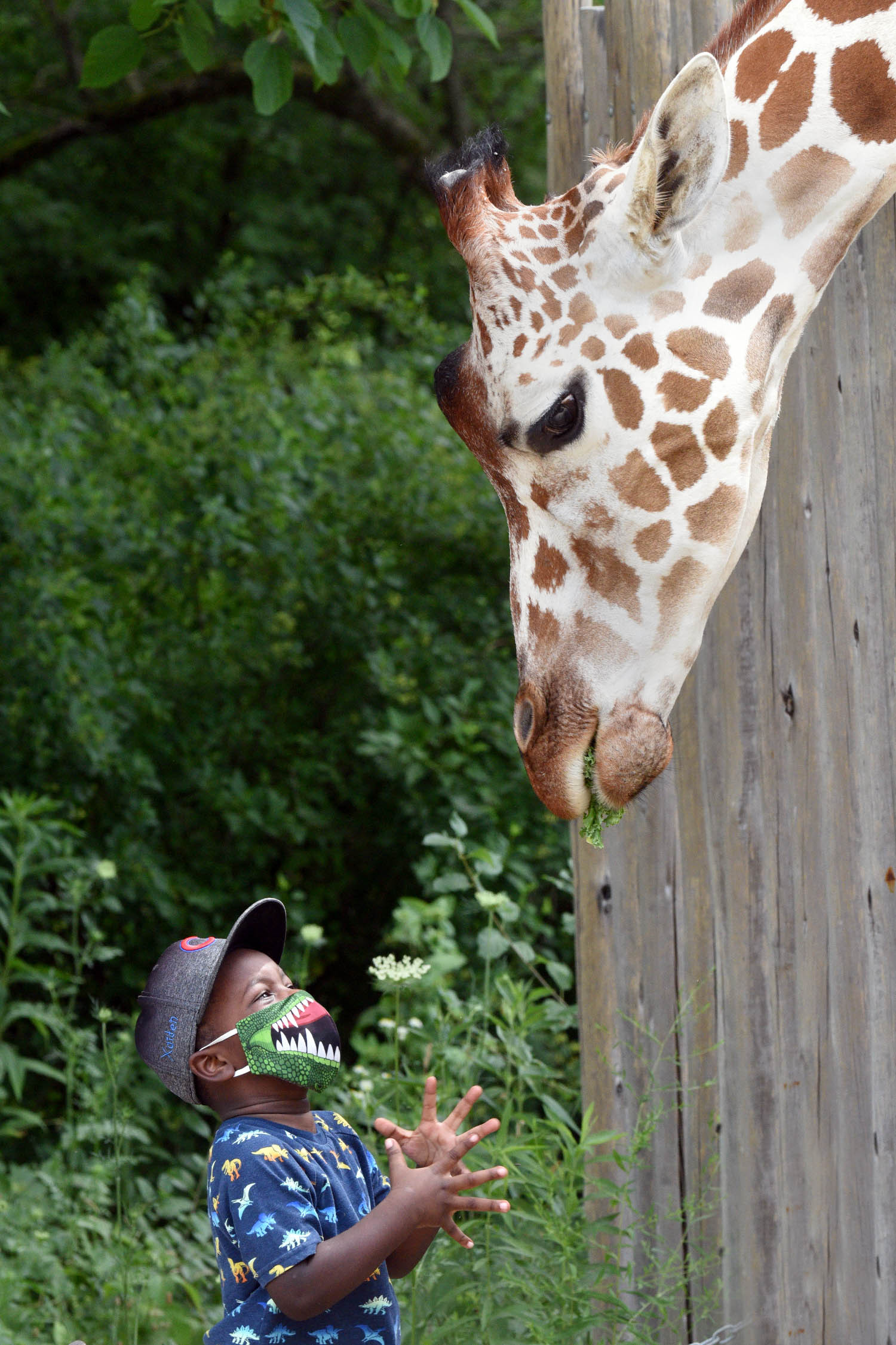 A giraffe leans over a fence and eats leaves from a child