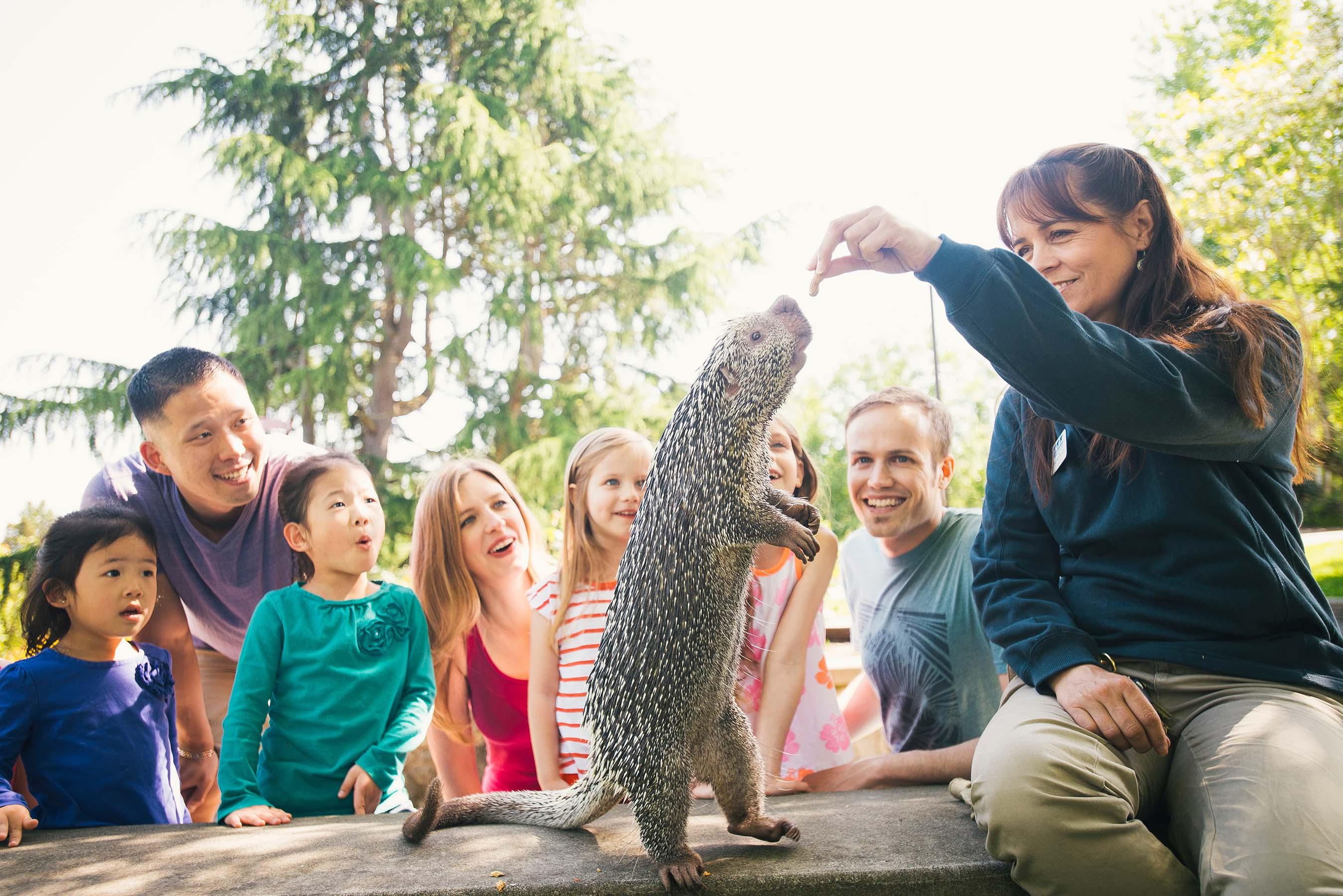 Ambassador animal prehensile-tailed porcupine doing a demonstration