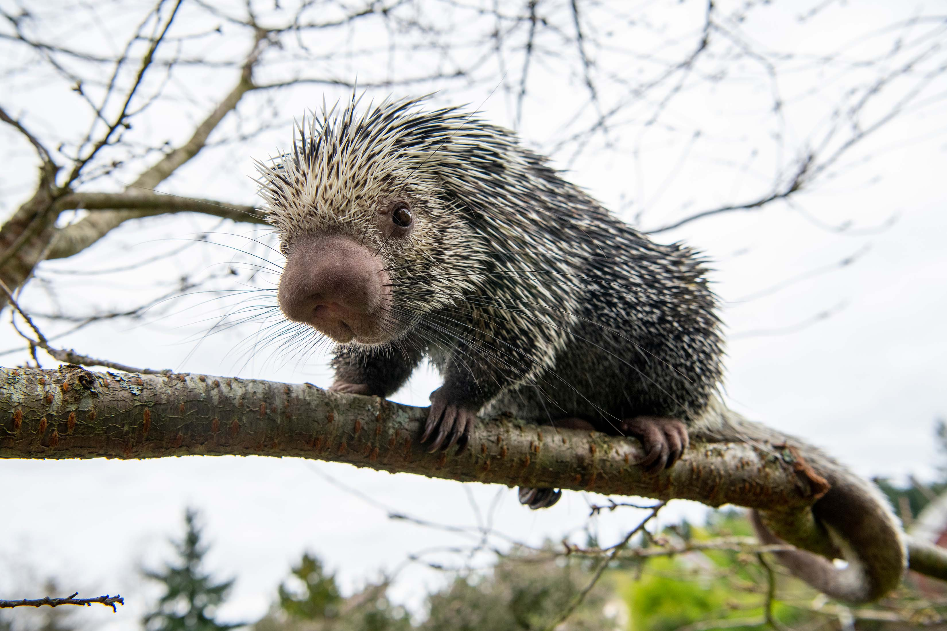 Prehensile-tailed porcupine on a tree branch