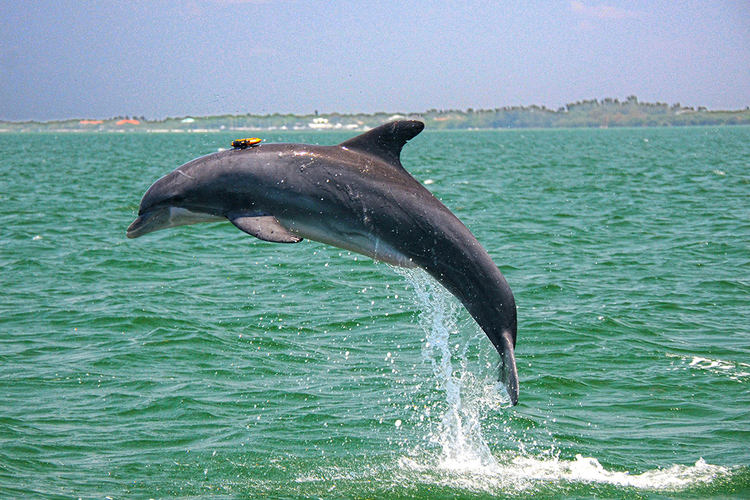 Dolphin jumping out of the water with a tag on its back