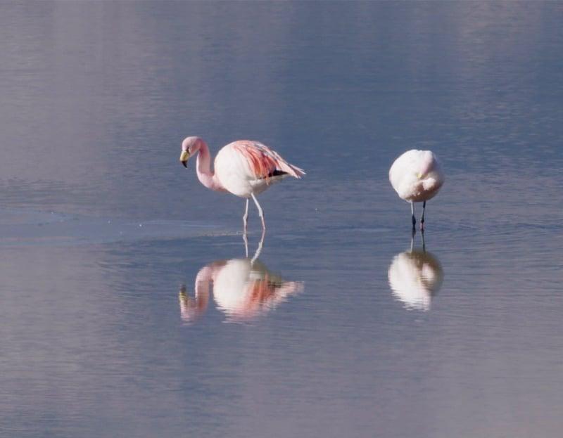 Andean Highland Flamingo