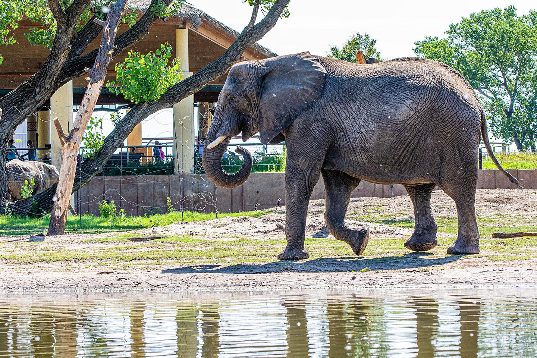 elephant walking near pond