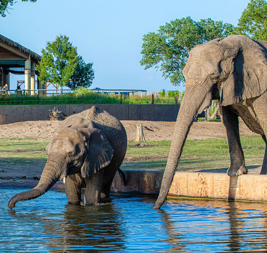 baby elephant and adult elephant drinking from pond