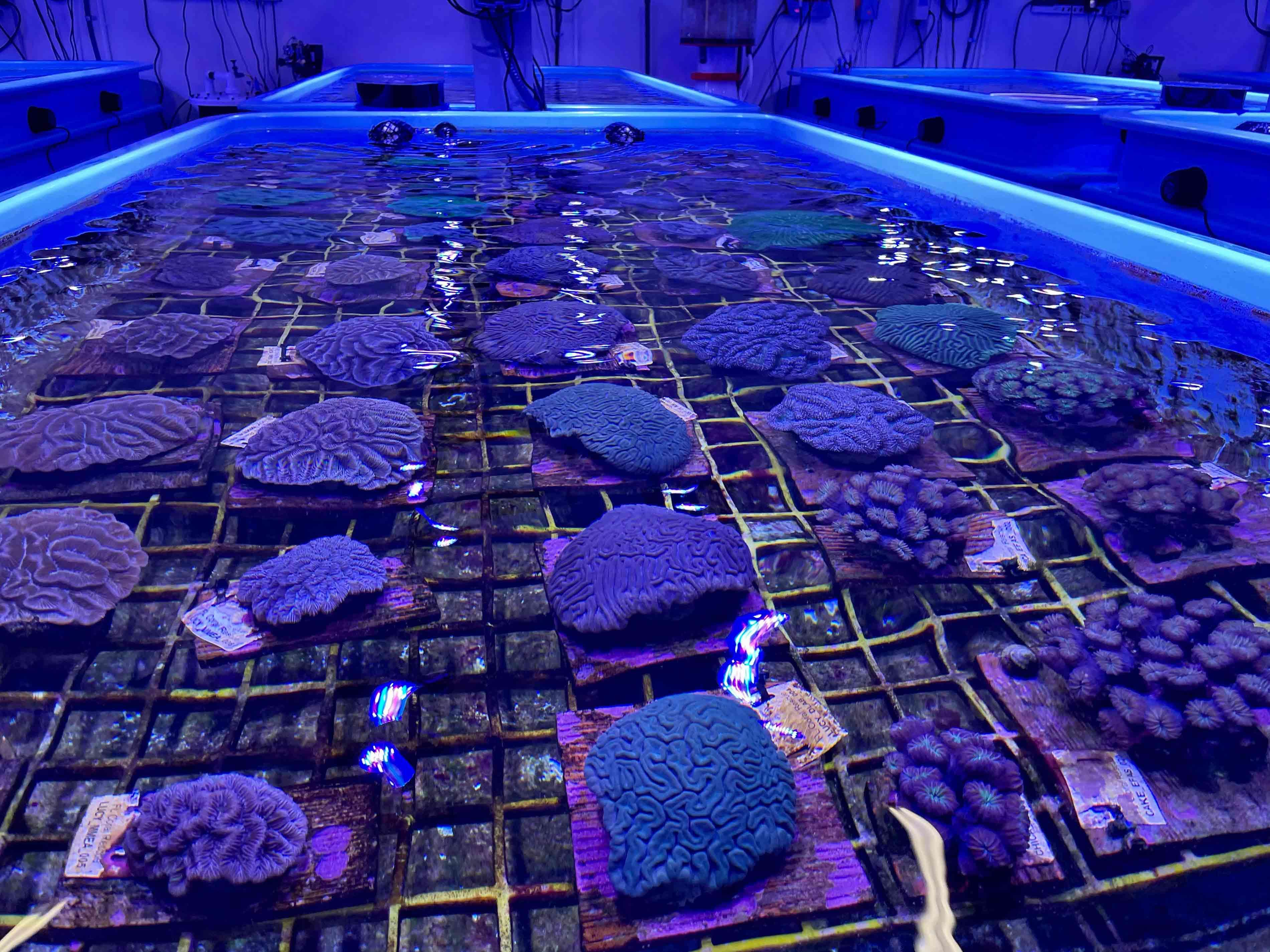 Rescue corals at the Florida Coral Rescue Center