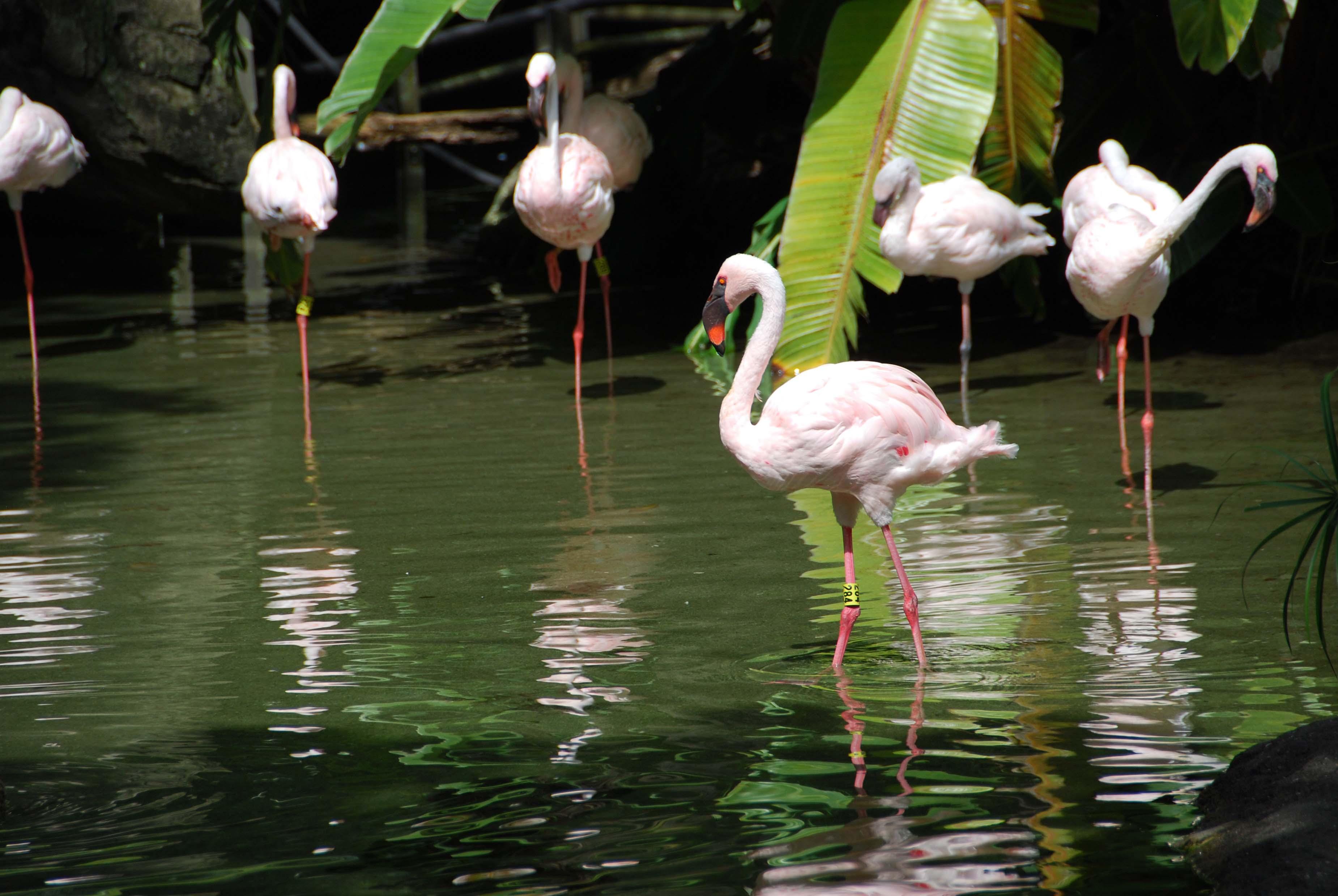 Disney Animal Kingdom lesser flamingo.