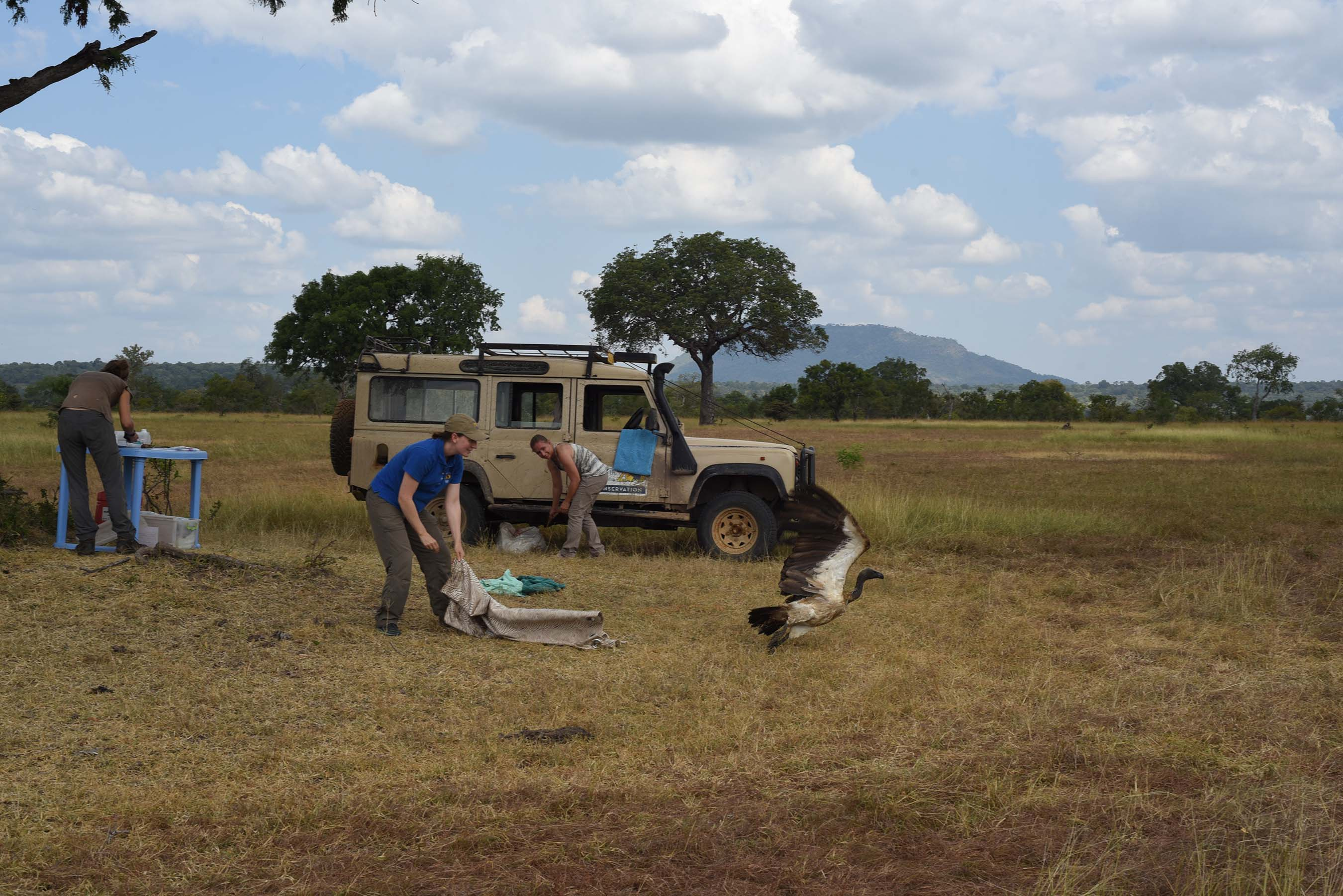 Corinne Kendall and her field team, North Carolina Zoo with tagged African White-backed vulture being released in Tanzania.