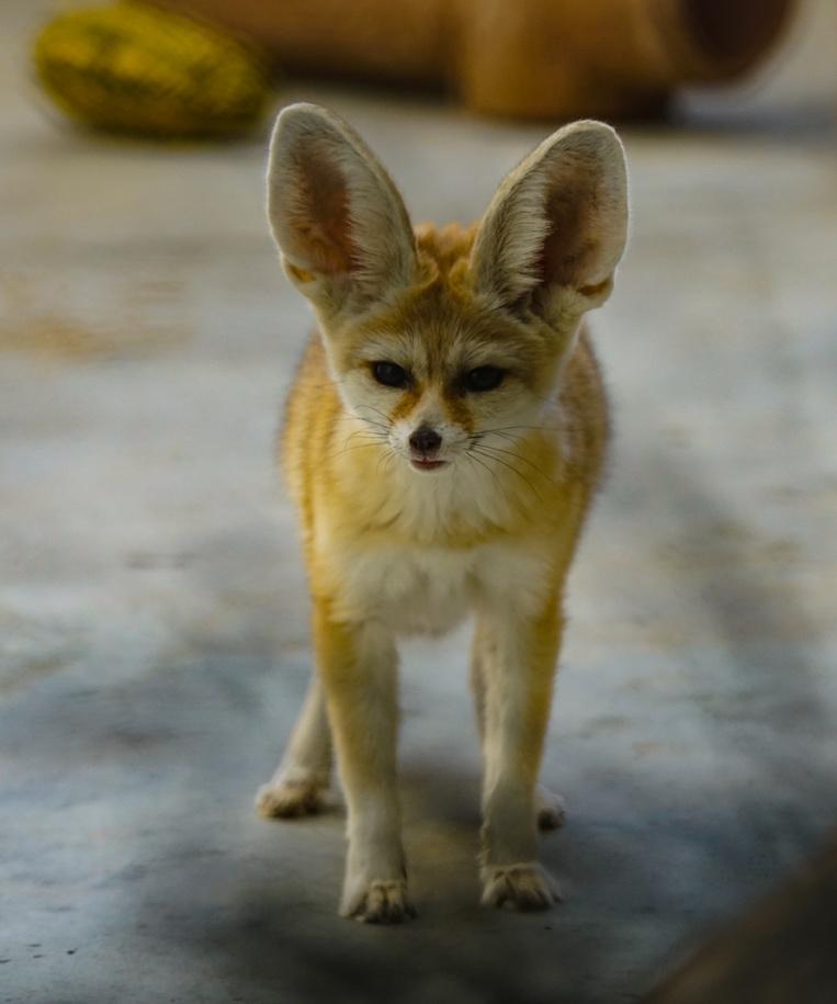 Image of fennec fox