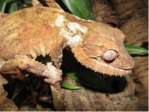 Image of Leaf Tailed Gecko from Riverbanks Zoo and Garden