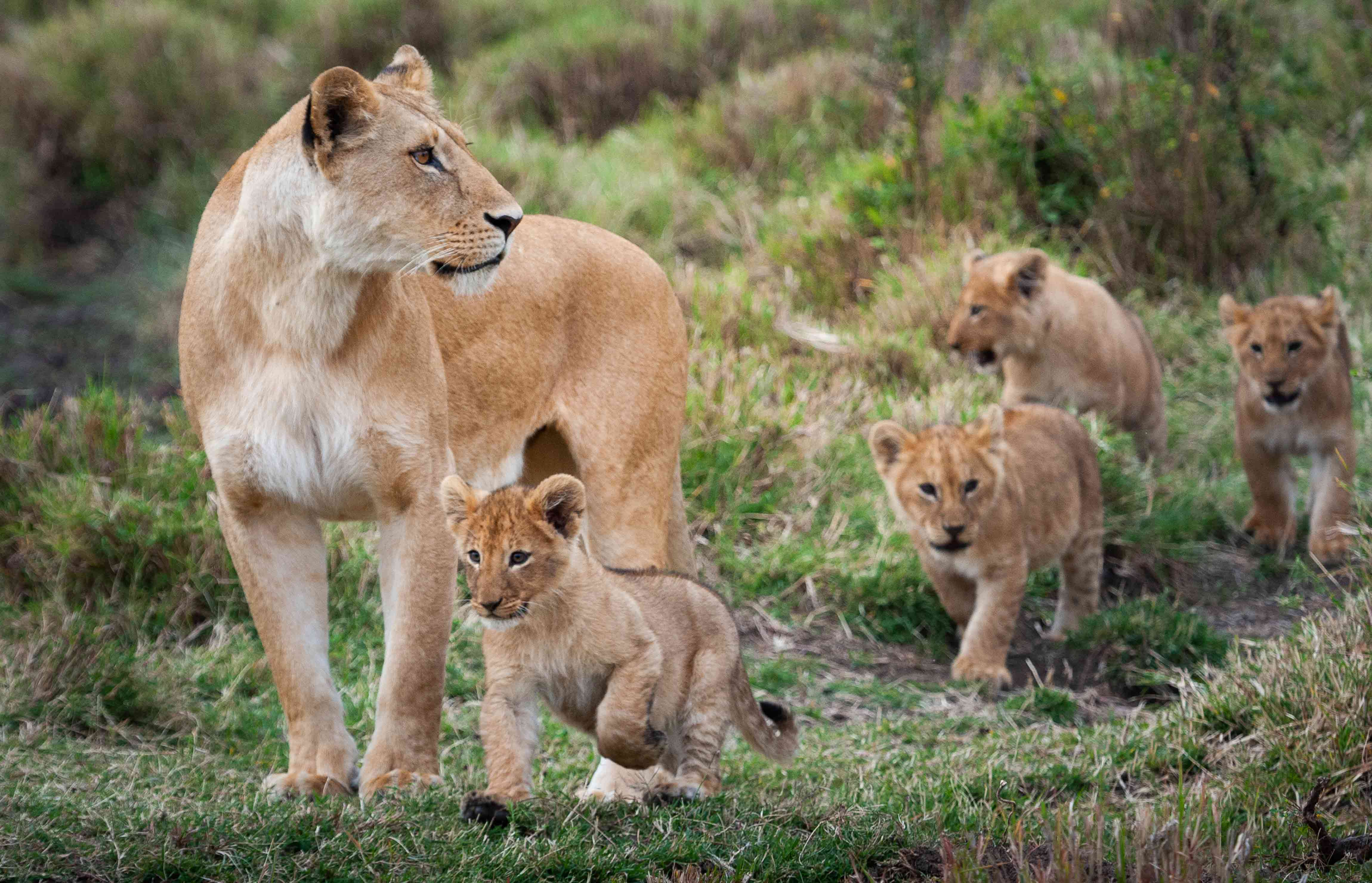 Adult female lion with three cubs