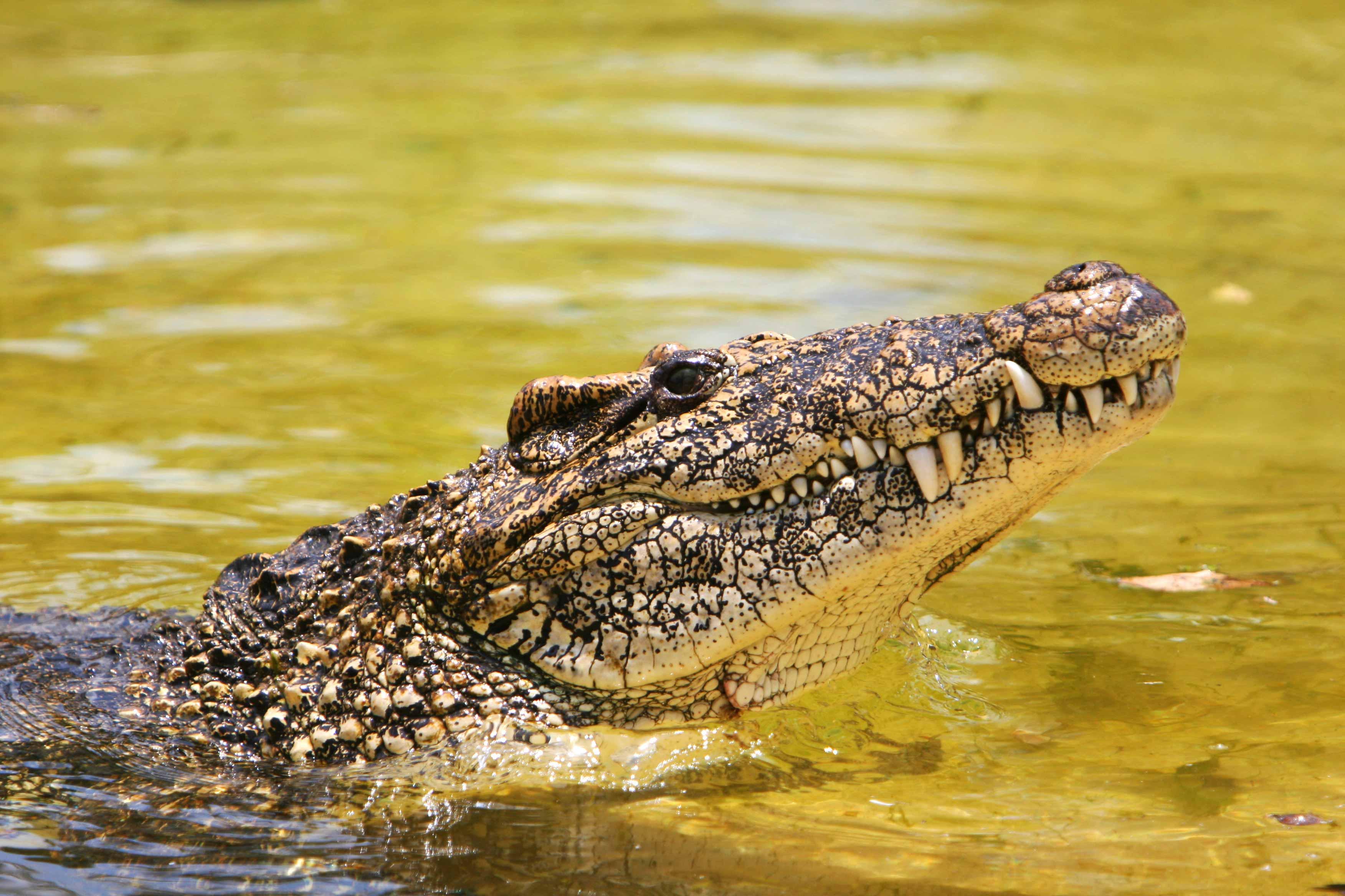 an adult Cuban crocodile