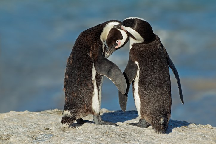 Two penguins sit a top a rock and preen.