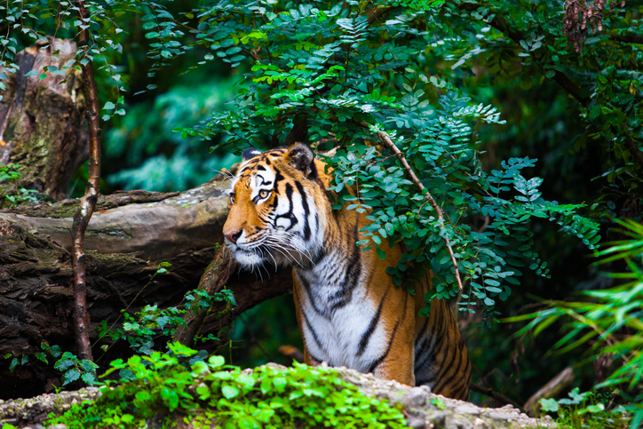 A tiger peers out from the jungle.